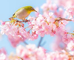 【例年の見頃】例年の桜開花時期をチェックしてみよう!