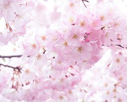 【人気ランキング】人気のお花見スポットをエリア別に紹介